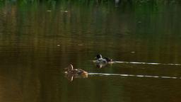 wild duck 23 Footage