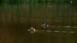 wild duck 23 Stock Video Footage