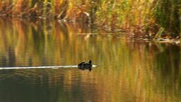 wild duck 25 Stock Video Footage
