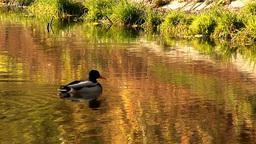wild duck 27 Stock Video Footage