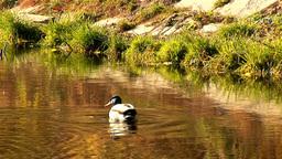 wild duck 27 Footage