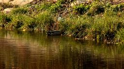 wild duck 29 Footage