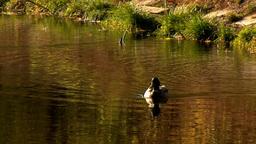 wild duck 29 Stock Video Footage
