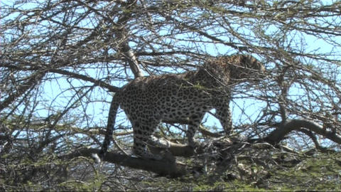 Leopard with a kill Footage