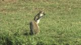 Vervet Monkey Feeding stock footage