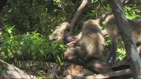 Baboons in a tree Footage