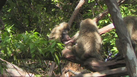 Baboons in a tree Stock Video Footage