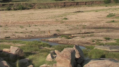 Reetbuck in the Serengeti Stock Video Footage