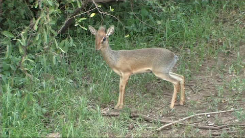 Dik dik grazing Stock Video Footage