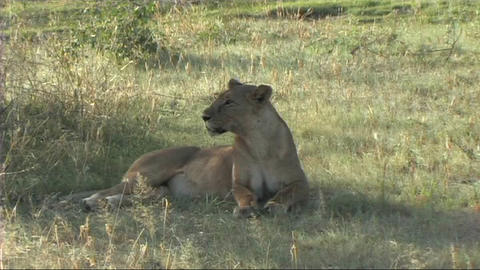 Lioness resting Stock Video Footage