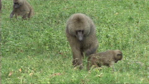 Baboons feeding Stock Video Footage