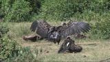Vultures Resting On The Ground stock footage