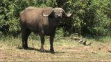 Close-up Of A Buffalo stock footage