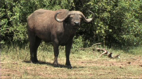Close-up of a buffalo Stock Video Footage