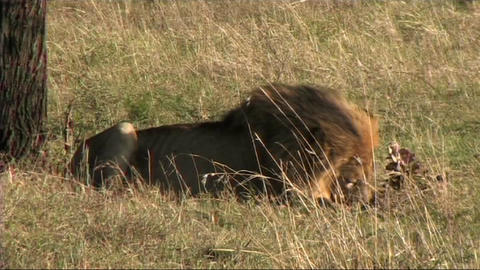 Lion with a kill Stock Video Footage