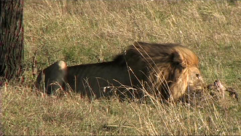 Lion with a kill Footage