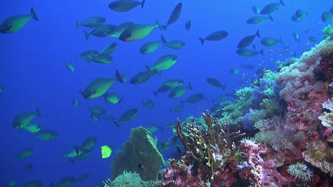 Unicornfish swimming on a coral reef Live Action