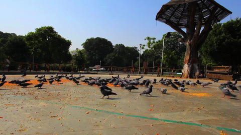 Shot of pigeons feeding, Company Bagh, Amritsar, P Footage