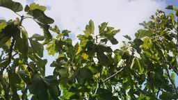 Sun exploding behind a fig tree Footage