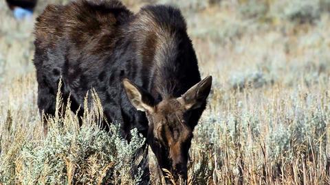 Cow Moose Footage