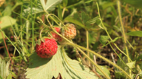 Wild Strawberry stock footage