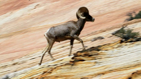 Bighorn Sheep in Zion Footage