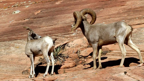 Bighorn Sheep Footage