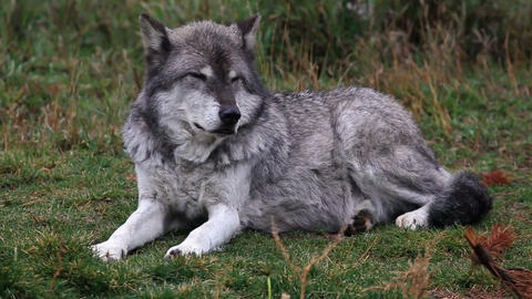 Sitting Wolf stock footage