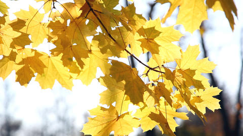 Autumn bright yellow leaves of a maple in a sunny  Footage