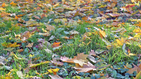 Fallen-down autumn maple leaves lie on a grass Footage