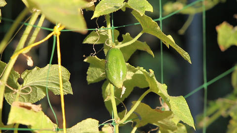 Prickly Cucumber On A Branch stock footage