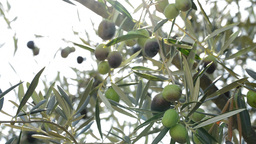 Olives hanging at branch in tree Footage