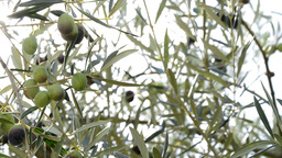 Olives hanging at tree Footage