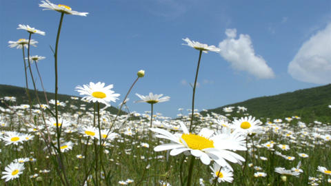 Chamomile flowers meadow Footage