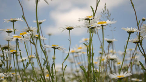 Chamomile Flowers Pan Shot stock footage