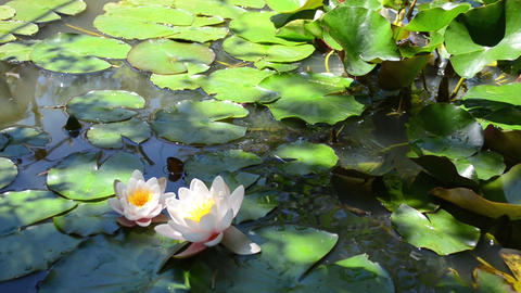Two White Water Lilies And Big Frog stock footage