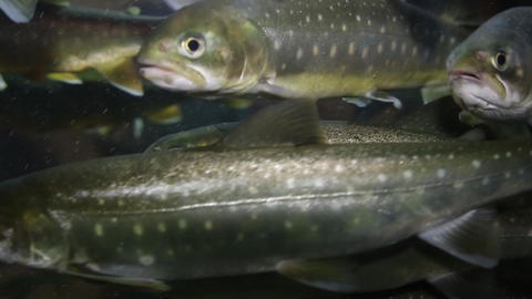 Motion of trout underwater inside fishtank Live Action