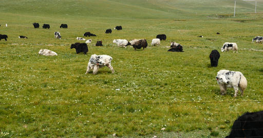 4k A Flock Of Yak On The Prairie,China Plateau Scenery stock footage