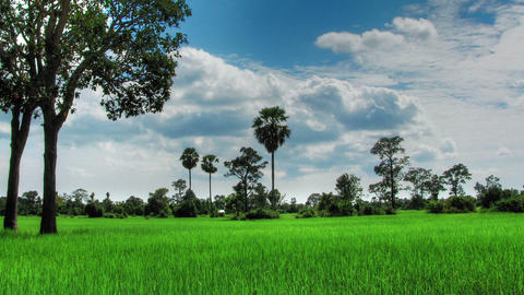 Green rice field time lapse loop Stock Video Footage