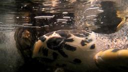 turtle aquarium Stock Video Footage