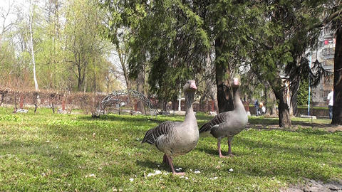 two goose in park Footage
