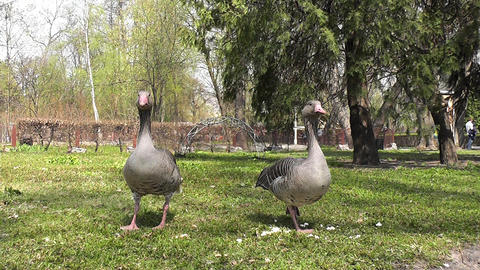 two goose Stock Video Footage
