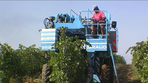 Grape harvest Stock Video Footage