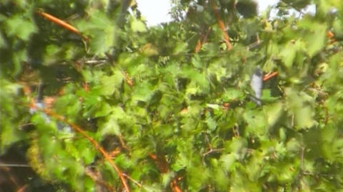 Vine harvesting Stock Video Footage
