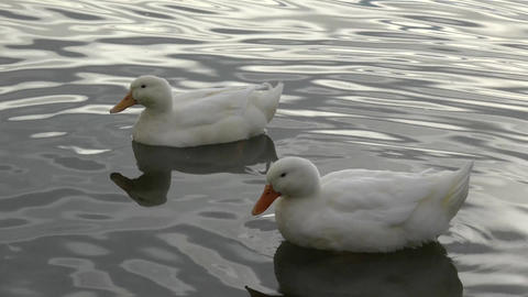 Two White Ducks Swimming Footage
