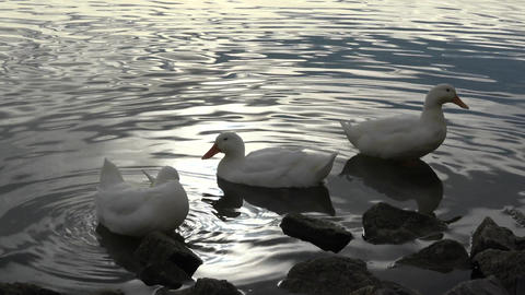 Three White Ducks by the Water Edge Footage