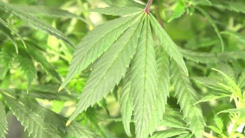 Close-up Marijuana Leaves Footage