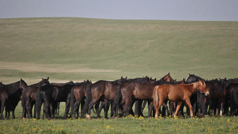 Herd of horses on a summer pasture Footage