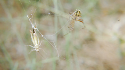 Spider vs grasshopper Footage