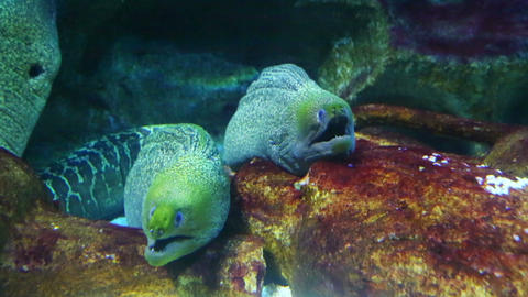 Two Large Moray Underwater Closeup stock footage